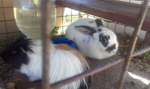 Male Rabbit Banora Point Tweed Heads Area Preview
