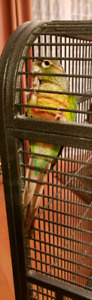 8 month's old green cheek Conure male and female need to rehome