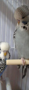 Hand tamed English budgie Grey close banded baby with new cage