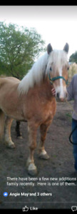 Casually Offering 7year old Haflinger Gelding