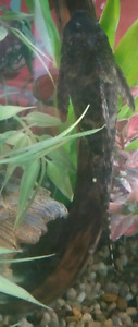 Free common pleco to good home