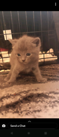 Two Russian Blue Cross Kittens available both male