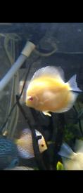 X2 Discus Fish (Chen's)