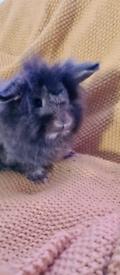 Lionhead rabbit boy