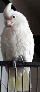Very Loving Young Cockatoo