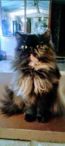 Beautiful Tiny Persian