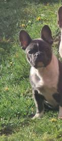 Kc reg female french bulldog