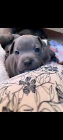 Staffie pups