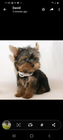 3 male miniature teacup Yorkshire terriers