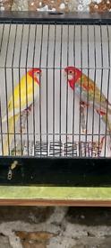 Barnard Rosella Canaries Budgies cage