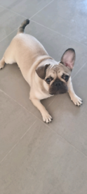 French bulldog/Pug