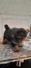 Yorkshire terrier cross pomeranian