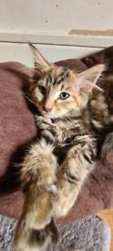 Stunning Maine Coon X Kitten