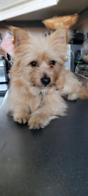 Pomeranian x terrier beautiful boy