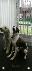 Bedlington terrier x whippet puppys