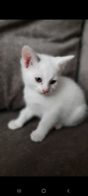 White and Black kittens for sale