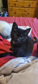 Black-Brown British Shorthair X Kitten