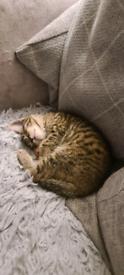 Tabby and white kitten left