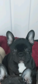 French Bulldog Pups only 1 left