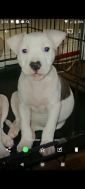 American bully with cros staff