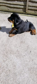 stunning rottweiler puppy for sale