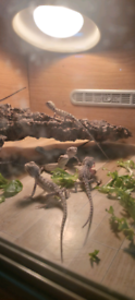 Bearded dragon babies available for reserve