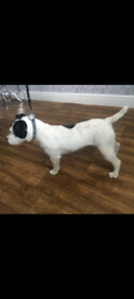 Female parson Russell terrier