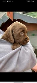 Chocolate cocker spaniels puppies