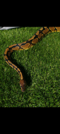 Yellow belly royal python and full set up