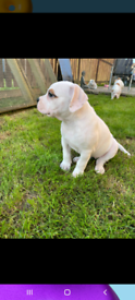 Female american bulldog available to the right home ready leave 29th