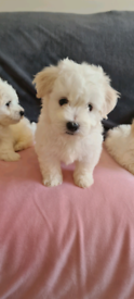 Maltese Puppies 🐶