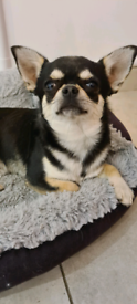 Kc registered chihuahua smooth coat