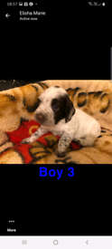 Springer spanel puppies