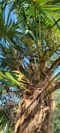 Chusan palm trees uk hardy Trachycarpus fortunei seeds