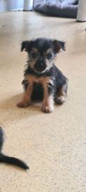 Yorkshire terrierxjack Russell puppies for sale