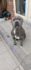 Blue Staffordshire bitch for sale