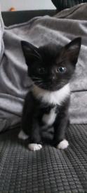Female kitten black and white
