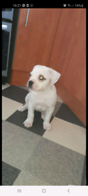 1 female american bulldog available to the right home ready leave 29th