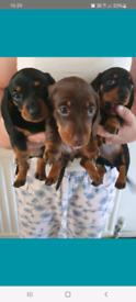 KC PRA Hereditary Clear Smooth Miniature Dachshunds