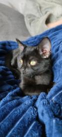 Beautiful black 10 week old kitten