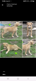 Lurcher pups