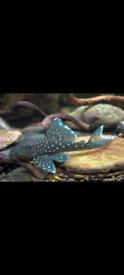 Plecos for sale tropical fish