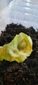 Helix aspersa maxima snails
