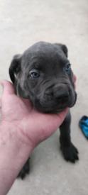 Blue Cane Corso Puppies