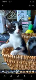 Black and white kittens for sale 1 boy 2 girls