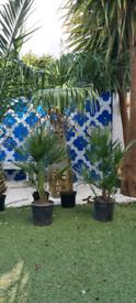 "Chamaerops humilis fan palms 85cm tall 33"""