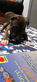 Staffy x cane corsa 4months pupp