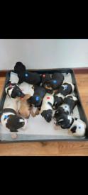 Dachshund Cross Jack Russell puppy
