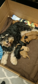 Cavapoo puppies for sale in Norwich