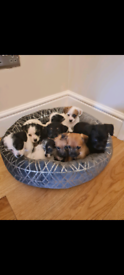 🎊 Beautiful jackapoo puppies 🎊